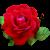 وردة 3